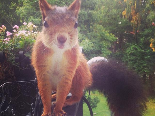 autumn_squirrel_looking_in